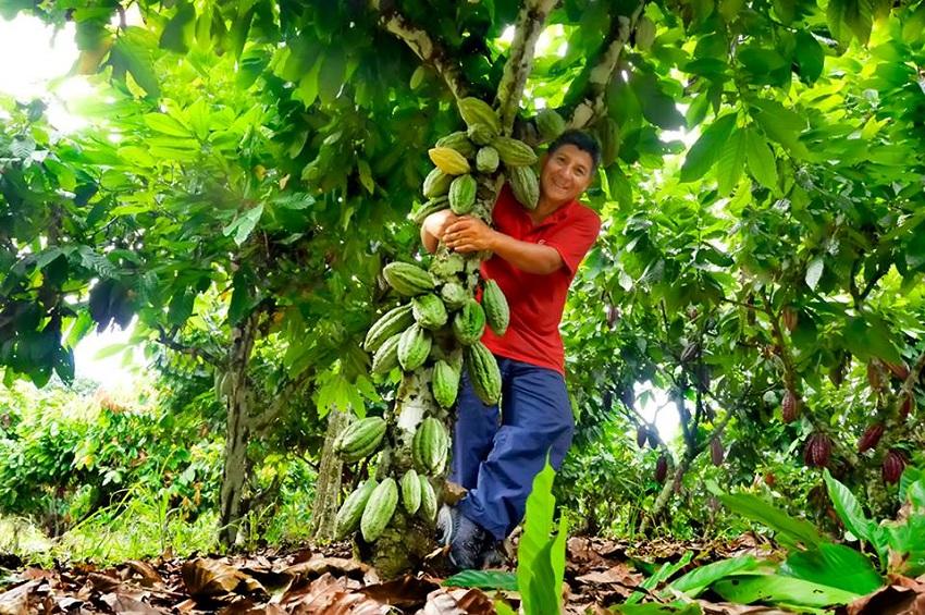 Presentan Alternativas para Reducir el alto contenido de Cadmio en el Cacao