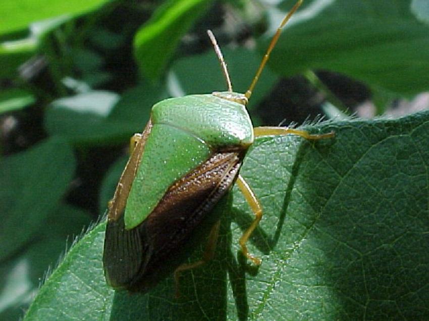 Soja: Sugerencias para el Manejo de plagas con Cuidado del Ambiente