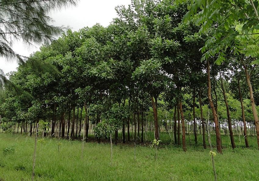 Cultivo de la Acacia mangium:  Una Reforestación Apícola, Inteligente y Autosostenible