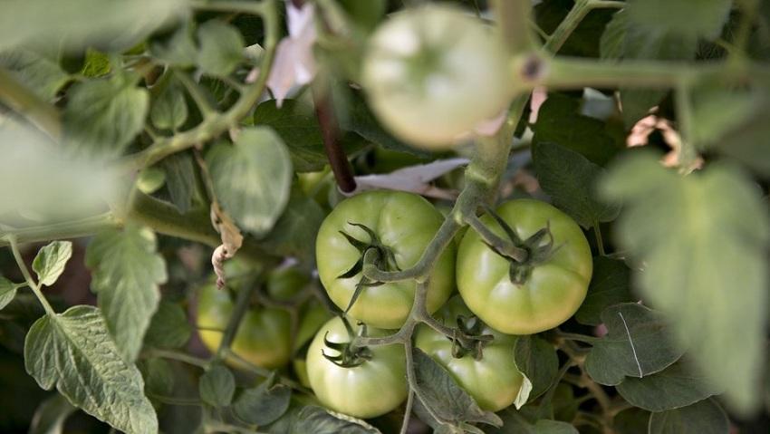 Argentina: Detectan un Nuevo Virus en Cultivos de Tomate