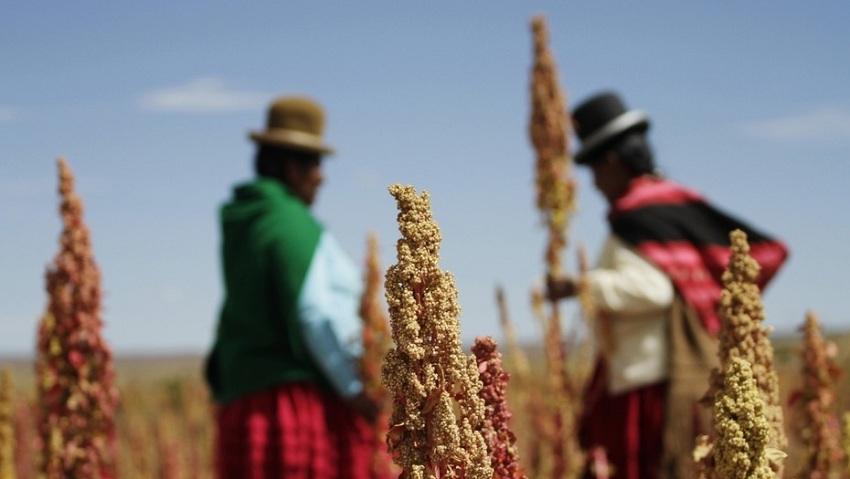 Perú: MINAGRI Impulsa Producción y Consumo de Quinua para Combatir la Desnutrición