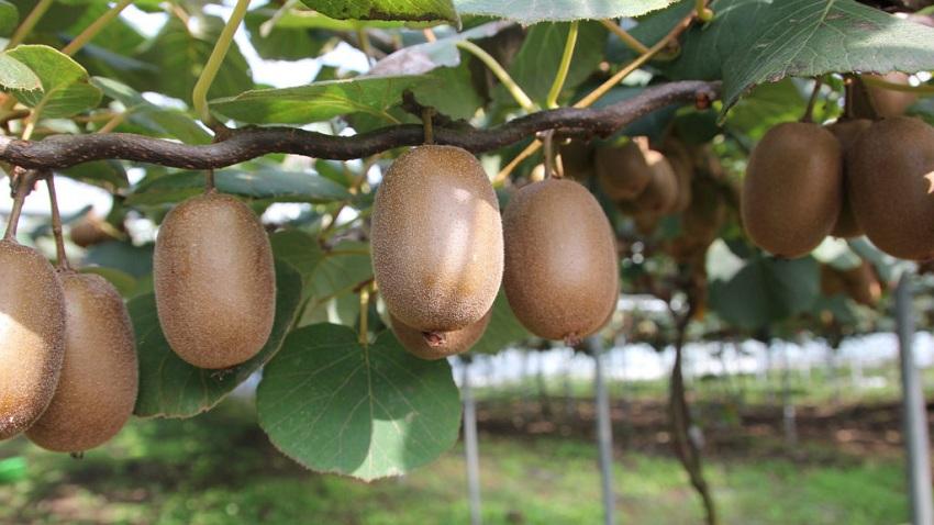 Manejo Agronómico Para la Producción de Kiwi