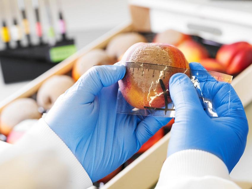 Investigadores Españoles Desarrollan dos Productos Biológicos para Combatir la Monilinia en Melocotoneros