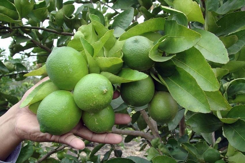 """Fresh Fruit News – Senasa: """"Tenemos Grandes Expectativas con los Cítricos en Japón"""""""