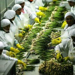 Espárrago y Banano Orgánico Presentes en Expo Perú Norte 2018
