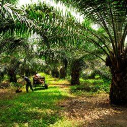 Perú: Buscan Aprobación de Plan Nacional de Desarrollo de la Palma Aceitera