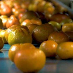 Recomendaciones Emitidas por el Senasa para Proteger sus Cultivos de la 'Mosca de la Fruta'