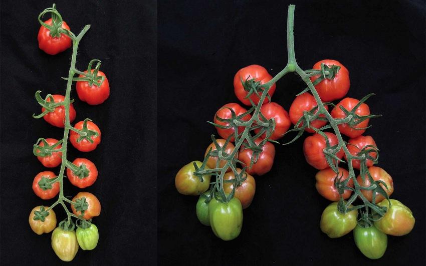 Científicos Chilenos Duplican la Ramificación y Producción de Frutos en Plantas de Tomate