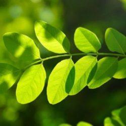 La Clonación de Plantas Busca Evitar la Extinción de Especies