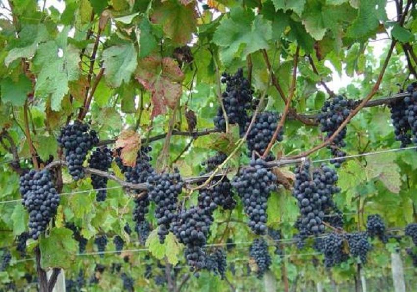 Argentina: Vendimia 2018 Avanza Gracias a Buen Desarrollo en las Cosechas de Uvas