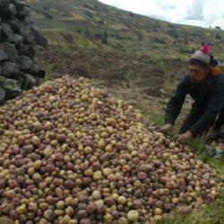 Perú: Congreso de la Papa Impulsa Biodiversidad, Seguridad Alimentaria y Negocios