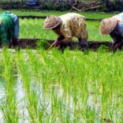 Incremento de Dióxido de Carbono Podría Estar Reduciendo las Proteínas y Nutrientes en los Cultivos de Arroz
