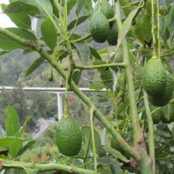 37.000 kilos de Aguacate Hass: Colombia Continúa sus Exportaciones Hacia Estados Unidos