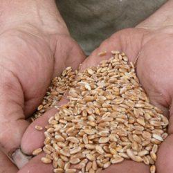 Argentina: INTA Identifican Cultivares que Baten Récords de Rendimientos