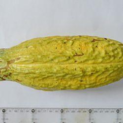 """México: Desarrolla""""Clones"""" de Plántulas de Cacao Mejorados y Resistentes a Enfermedades"""