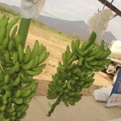 Lambayeque: Inspeccionan Cumplimiento de Normas de Producción Orgánica en Cultivos de Banano