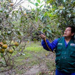 Áncash: Senasa Mantiene Bajo Vigilancia más de 15 mil Hectáreas Hortofrutícolas