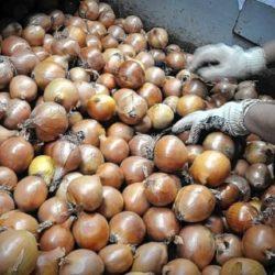 Tacna: Senasa Certifica 30 Toneladas de Cebolla Blanca para su Exportación a Chile