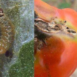 Investigadores Trabajan para Eliminar a la Polilla del Tomate con una Pequeña Avispa como Aliada