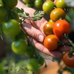 Nueva Esperanza para Volver a Exportar Tomate Colombiano