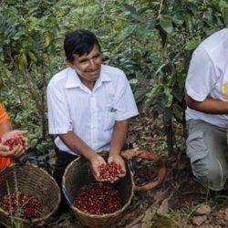 Perú - Minagri Renovó 39,314 Hectáreas de Café a Agosto del 2018