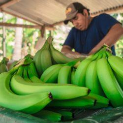 Piura: Impulsan Cultivo de Banano Orgánico con Fines de Exportación