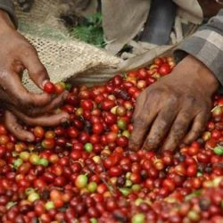 Brasil Camino a su Mayor Producción Histórica de Café