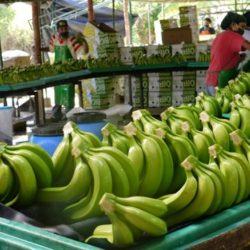 Producción Bananera de Ecuador será Fortalecida