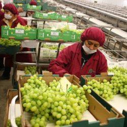 Productores de Ica Exportan Uva a 43 Mercados Internacionales