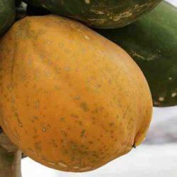Científica Mexicana Patenta Método Molecular para Diágnostico de Enfermedad que Afecta a la Papaya