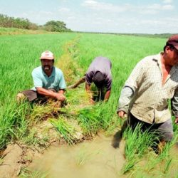 Colombia y Perú Alcanzan Solución al Diferendo Comercial Sobre el Arroz