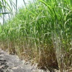 Fertilización en Caña de Azúcar en Corrientes