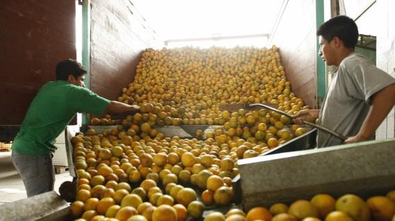 ProCitrus: Exportación de Cítricos Peruanos crecería un 8% este año