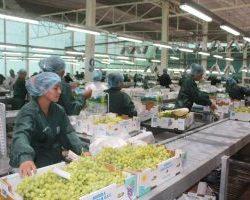 Exportación de Uva alcanzó cifra importante en la región Arequipa