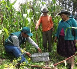 Evaluación del Senasa permitirá conocer situación del agro en Cusco ante posible presencia de roedores