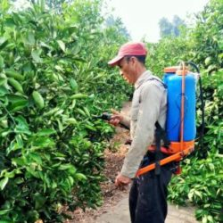 Senasa: Productores de Huaura realizaron Acciones de Control Integrado contra la Mosca de la Fruta
