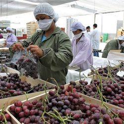 Exportaciones peruanas de uva crecen 33 % en primer trimestre del 2019