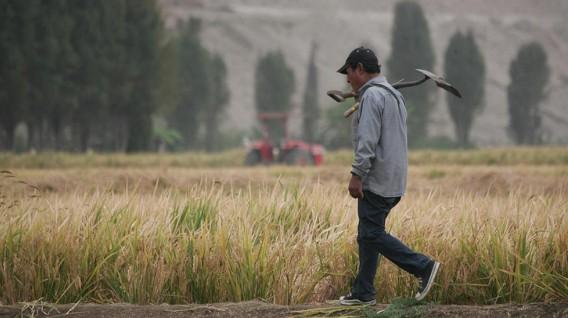 Enfen: Clima favorece cultivos de arroz y mango en el norte y olivo en el sur