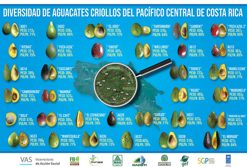 Agrónomas rescatan las mejores variedades de Aguacate Criollo