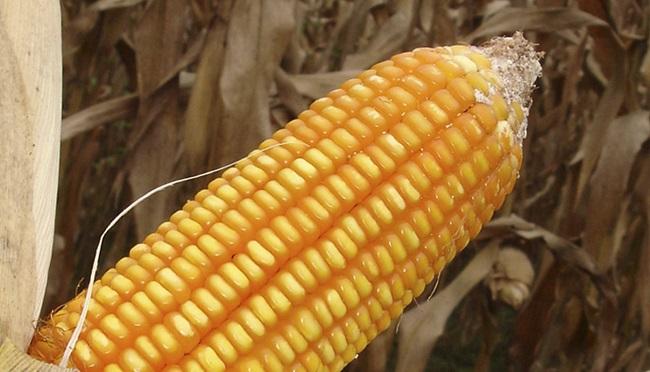 Incrementan producción de maíz con semilla del INIA